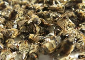 подмор пчелинный