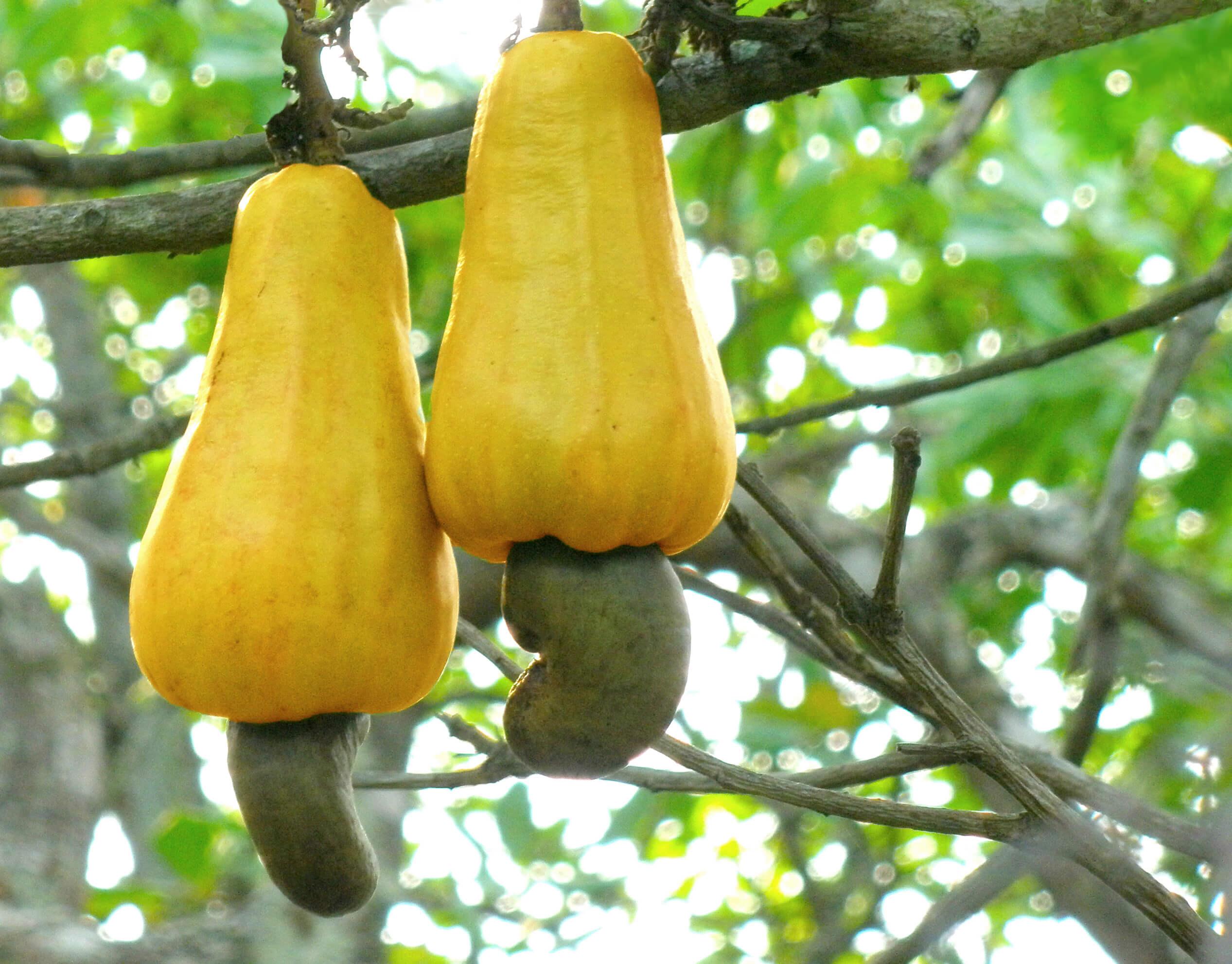 Применения ореха кешью для мужского здоровья