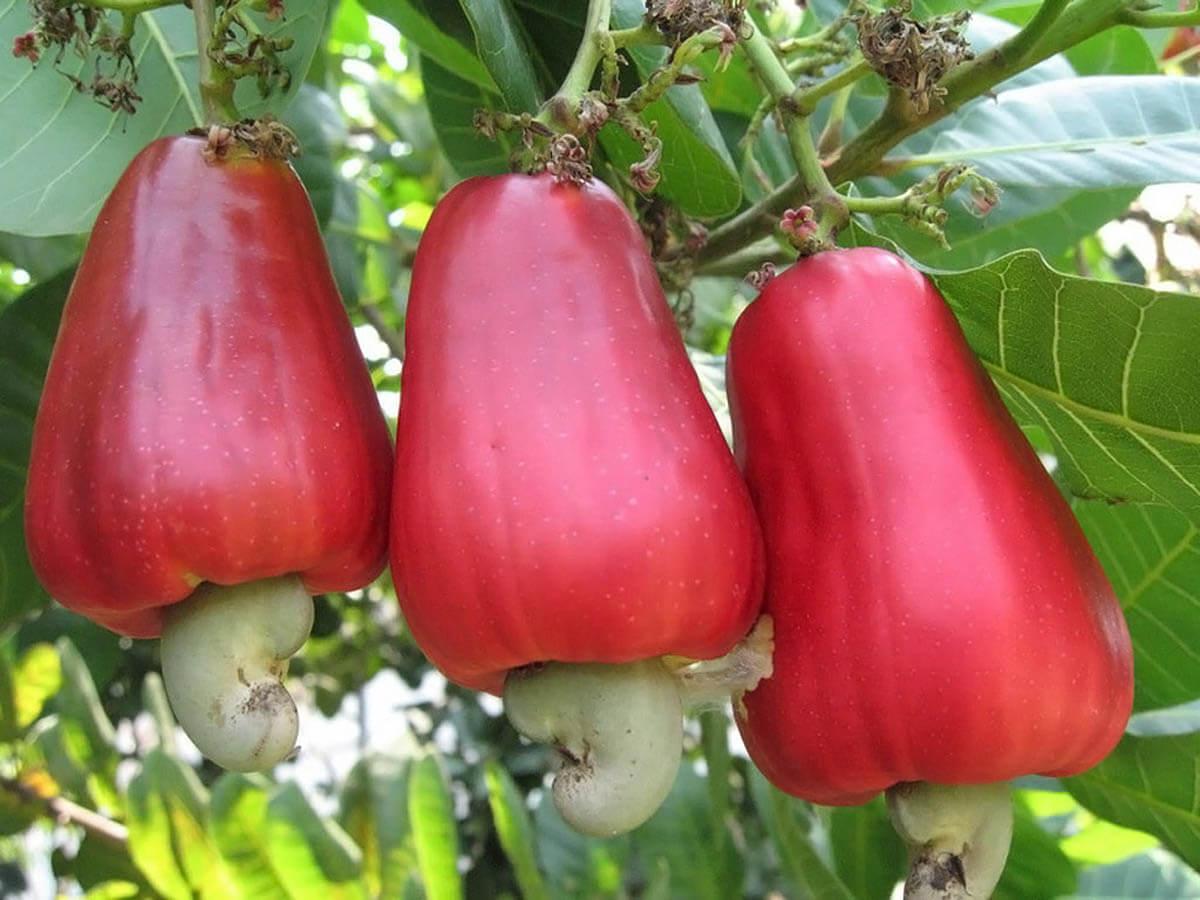 Плоды кешью для мужского здоровья