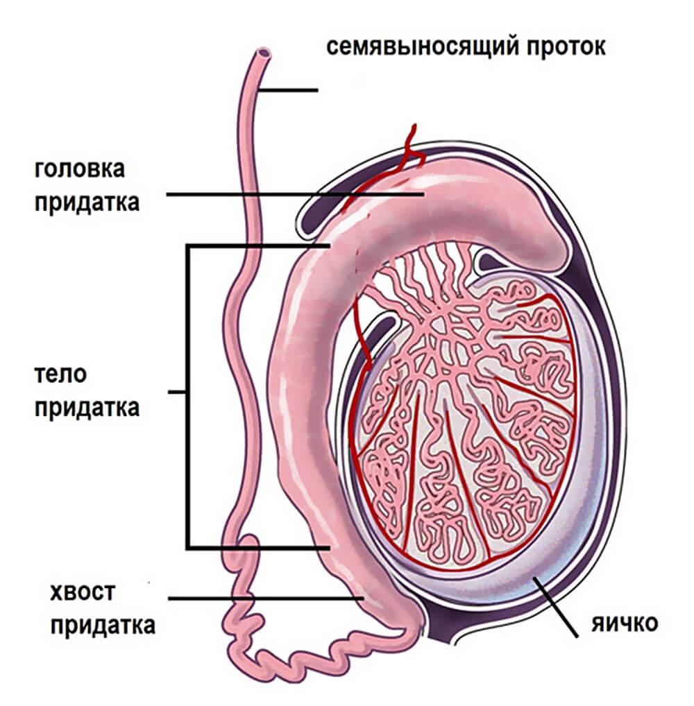 уплотнения на яичке у мужчин