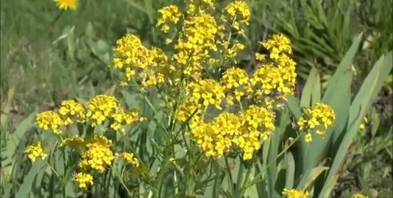 трава сурепка помогает при простатите