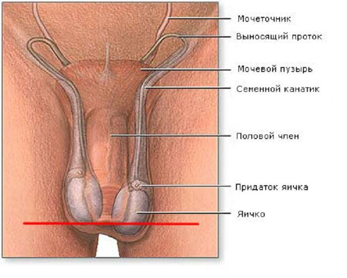 строение половых органов мужчины и гипоплазия яичек