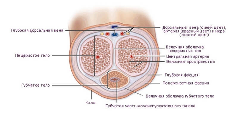 анатомия мужского полового члена