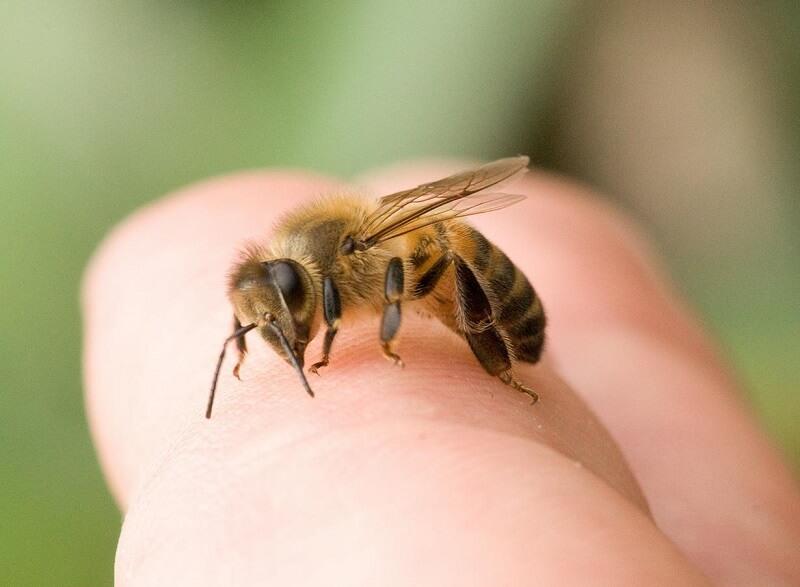 лечение варикоцеле укусами пчел